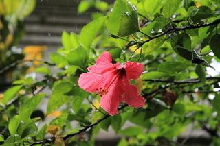 ハイビスカスの花.JPG